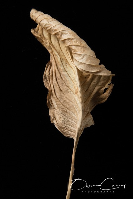 hosta leaf, owen carey photographer